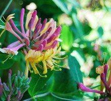 Piante profumate per il giardino - Caprifoglio