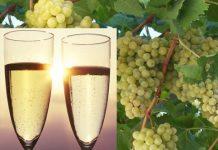 vino e uve Glera per Prosecco DOC
