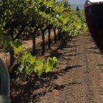 assaggio del vino Cabernais Sauvignon DOC e vitigni