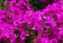 Una siepe di Bougainvillea dai fiori viola